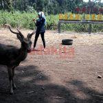 Puluhan Rusa Ramah, di Penangkaran Desa Jatilengger Srengat Blitar