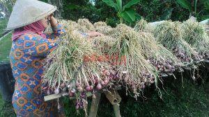 Jelang Puasa, Harga Bawang Merah Turun 50 Persen