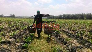 Musim Panen Tahun Ini, Petani Blewah di Jombang Terancam Rugi