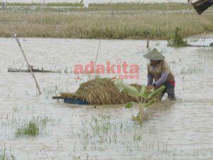 Sawah Terendam Banjir, Petani Terpaksa Lakukan Panen Dini