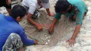 Upaya Pokdarwis Pantai Sanggar Selamatkan Penyu