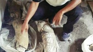 Niat Mengeruk Tanah Malah Temukan Fosil Kepala Banteng