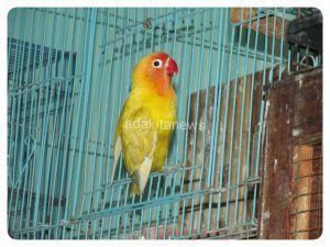 Salah satu Love Bird peliharaan Yudi.(foto: kurniawan)
